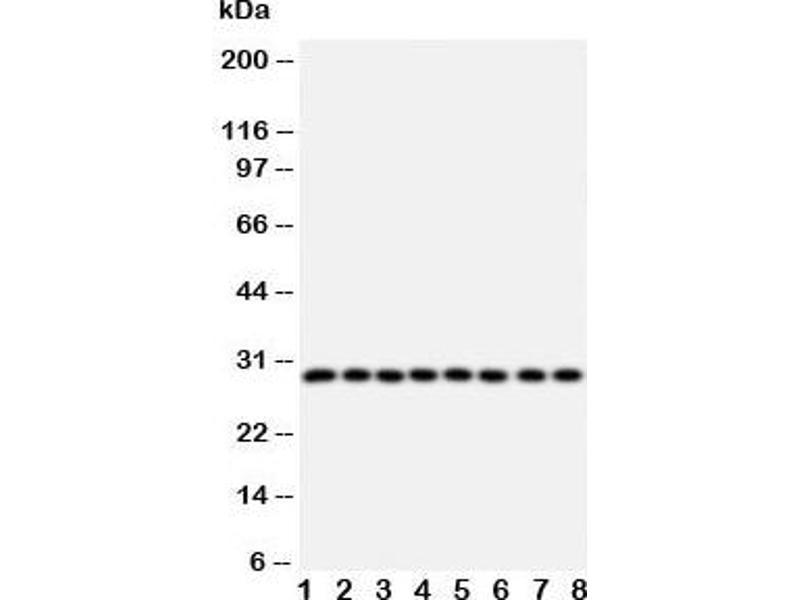 Western Blotting (WB) image for anti-CISH antibody (Cytokine Inducible SH2-Containing Protein) (AA 241-258) (ABIN3030694)