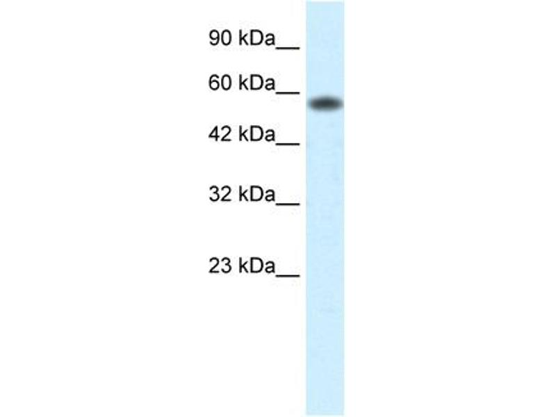Western Blotting (WB) image for anti-Prenylcysteine Oxidase 1 (PCYOX1) (C-Term) antibody (ABIN182725)
