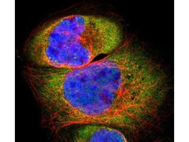 Immunofluorescence (IF) image for anti-Proteasome (Prosome, Macropain) 26S Subunit, Non-ATPase, 8 (PSMD8) antibody (ABIN4348308)