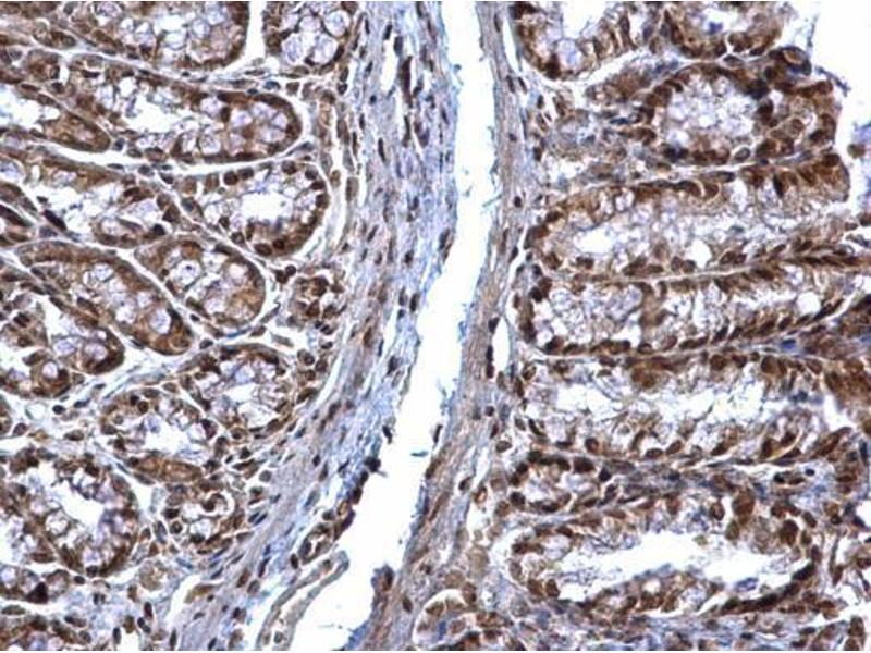 Immunohistochemistry (IHC) image for anti-Suppressor of Cytokine Signaling 1 (SOCS1) (C-Term) antibody (ABIN2854825)