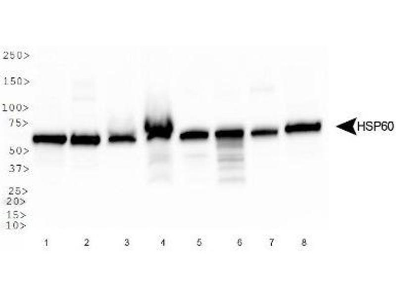 Western Blotting (WB) image for anti-Heat Shock 60kDa Protein 1 (Chaperonin) (HSPD1) (AA 300-360), (Internal Region) antibody (ABIN4320146)