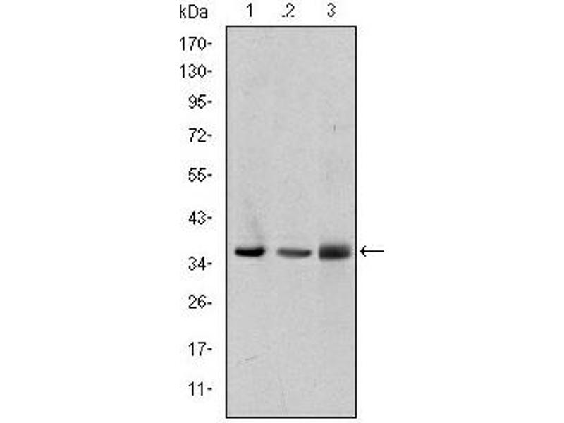Western Blotting (WB) image for anti-LIM and Senescent Cell Antigen-Like Domains 1 (LIMS1) 抗体 (ABIN1108043)