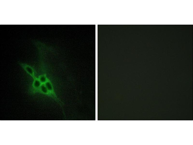 Immunofluorescence (IF) image for anti-EPH Receptor B2 antibody (EPHB2) (ABIN2164661)