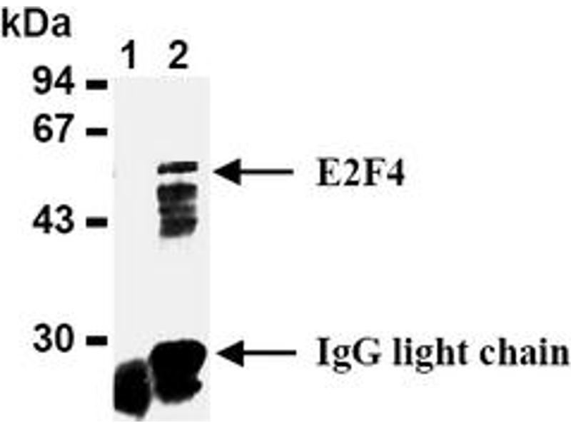 Western Blotting (WB) image for anti-E2F Transcription Factor 4, P107/p130-Binding (E2F4) antibody (ABIN487490)