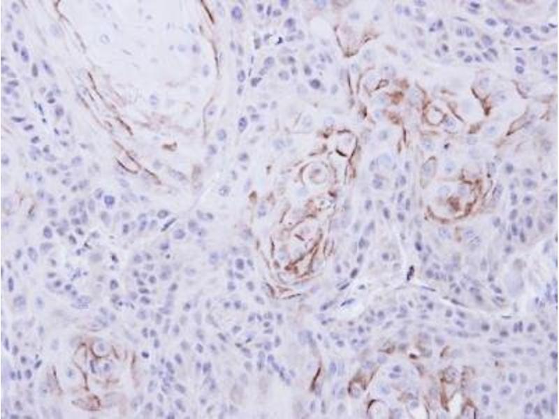 Immunohistochemistry (Paraffin-embedded Sections) (IHC (p)) image for anti-Mu Opioid Receptor 1 antibody (Opioid Receptor, mu 1) (ABIN441215)