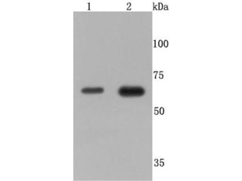 Western Blotting (WB) image for anti-Tumor Necrosis Factor Receptor Superfamily, Member 1B (TNFRSF1B) (C-Term) antibody (ABIN5947884)