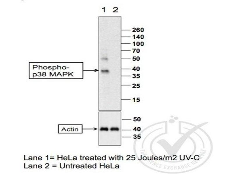 Western Blotting (WB) image for anti-MAP kinase p38 (p38) (AA 160-200), (pThr180), (pTyr182) antibody (ABIN678668)