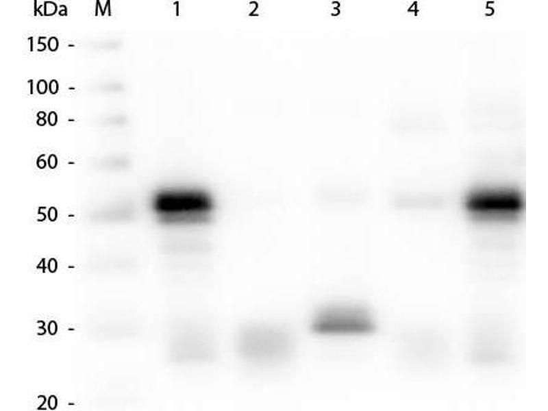 Western Blotting (WB) image for Goat anti-Rabbit IgG (Heavy & Light Chain) antibody (TRITC) (ABIN964975)