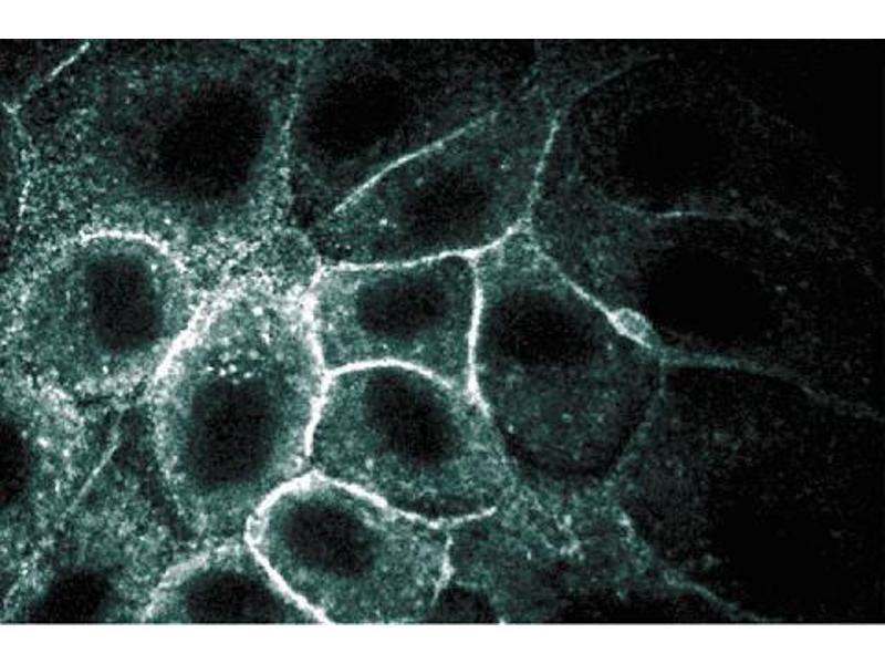 Immunofluorescence (IF) image for anti-SPNA2 antibody (alpha-Spectrin 2) (AA 252-371) (ABIN968881)
