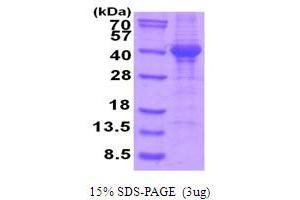 Image no. 1 for Napsin A Aspartic Peptidase (NAPSA) (AA 64-420) protein (His tag) (ABIN5854014)