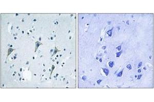 Image no. 1 for anti-G Protein-Coupled Receptor 85 (GPR85) (AA 181-230) antibody (ABIN1535751)
