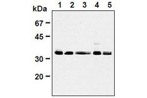 anti-Cyclin-Dependent Kinase 1 (CDK1) (AA 30-57), (AA 42-49) antibody