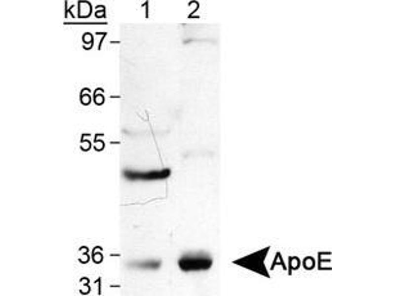 Western Blotting (WB) image for anti-APOE antibody (Apolipoprotein E) (ABIN258785)