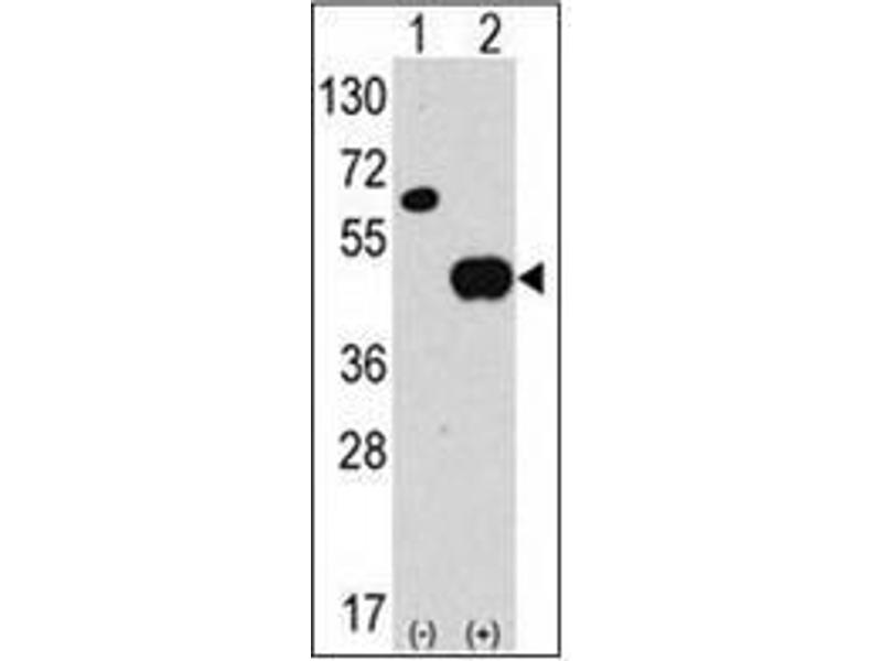 Western Blotting (WB) image for anti-ATG4B antibody (ATG4 Autophagy Related 4 Homolog B (S. Cerevisiae)) (AA 23-53) (ABIN1449637)