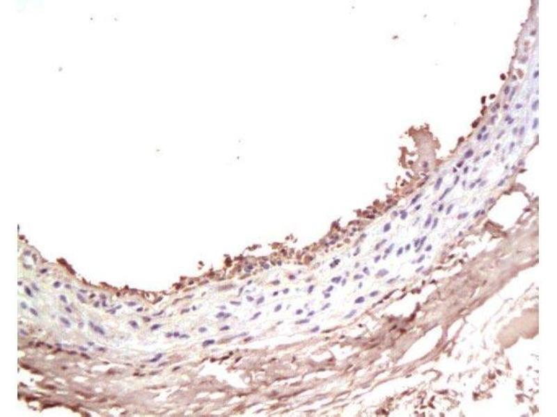 Immunohistochemistry (Paraffin-embedded Sections) (IHC (p)) image for anti-Insulin-Like Growth Factor 1 (IGF1) (AA 67-90) antibody (ABIN723605)