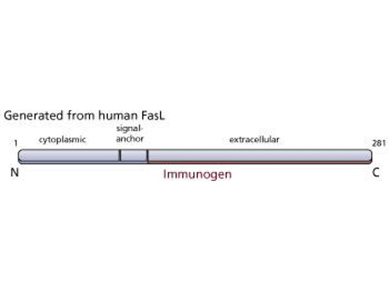 image for anti-FASL antibody (Fas Ligand (TNF Superfamily, Member 6)) (ABIN967520)
