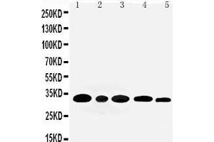 Image no. 2 for anti-Aquaporin 3 (Gill Blood Group) (AQP3) (AA 278-292), (C-Term) antibody (ABIN3044413)