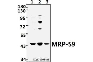 Image no. 1 for anti-Mitochondrial Ribosomal Protein S9 (MRPS9) (AA 100-150) antibody (ABIN6713468)