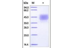 Image no. 1 for CD3e Molecule, epsilon (CD3-TCR Complex) (CD3E) (AA 22-117) (Active) protein (Fc Tag,His tag) (ABIN2180776)