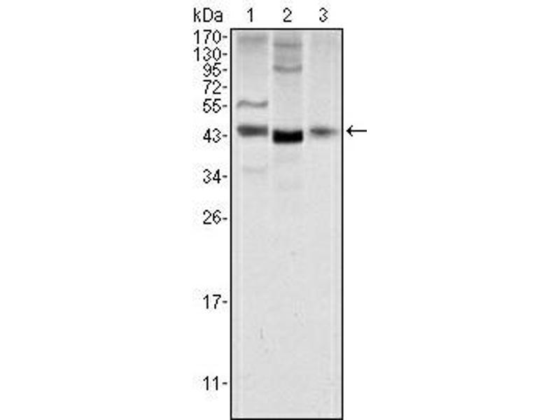 Western Blotting (WB) image for anti-Wingless-Type MMTV Integration Site Family, Member 1 (WNT1) antibody (ABIN1109511)
