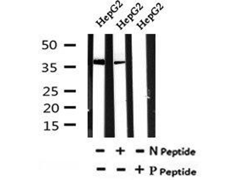 Image no. 3 for anti-Annexin A2 (ANXA2) (pTyr238) antibody (ABIN6269611)