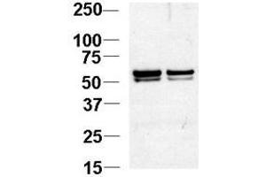 image for anti-Nucleosome Assembly Protein 1-Like 1 (NAP1L1) (N-Term) antibody (ABIN357232)