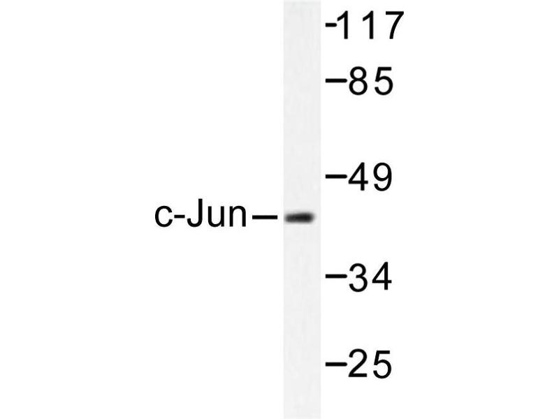 image for anti-Jun Proto-Oncogene (JUN) antibody (ABIN272013)