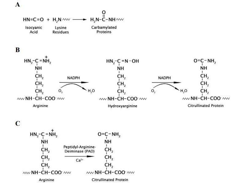 Image no. 4 for Homocitrulline/Citrulline Assay Kit (ABIN5067570)