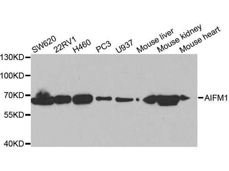 Image no. 1 for anti-Apoptosis-Inducing Factor, Mitochondrion-Associated, 1 (AIFM1) antibody (ABIN3023385)