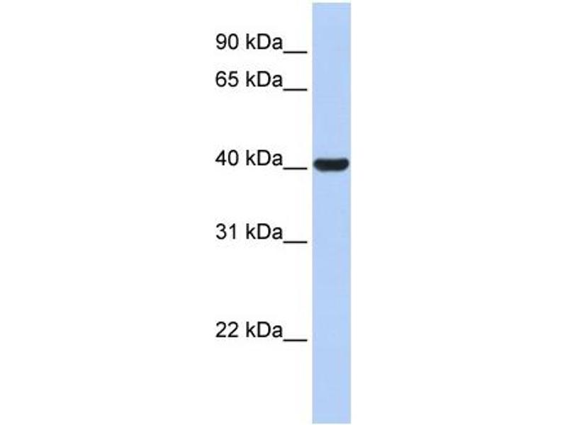 Western Blotting (WB) image for anti-Hydroxy-delta-5-Steroid Dehydrogenase, 3 beta- and Steroid delta-Isomerase 1 (HSD3B1) (N-Term) antibody (ABIN2777011)