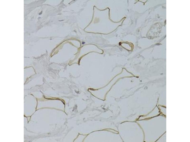 Image no. 1 for anti-Glycerol-3-Phosphate Dehydrogenase 1 (Soluble) (GPD1) antibody (ABIN2562890)