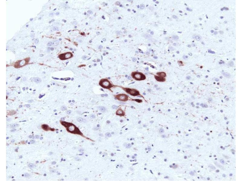 Immunohistochemistry (Paraffin-embedded Sections) (IHC (p)) image for anti-NOS1 antibody (Nitric Oxide Synthase 1, Neuronal) (AA 1095-1289) (ABIN967895)