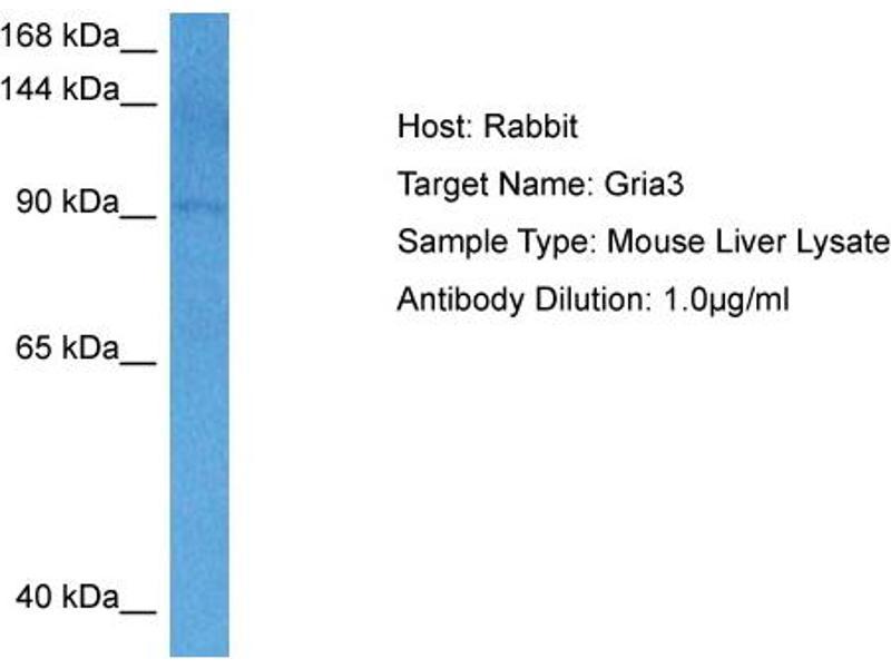 Western Blotting (WB) image for anti-Glutamate Receptor, Ionotrophic, AMPA 3 (GRIA3) (N-Term) antibody (ABIN2776189)