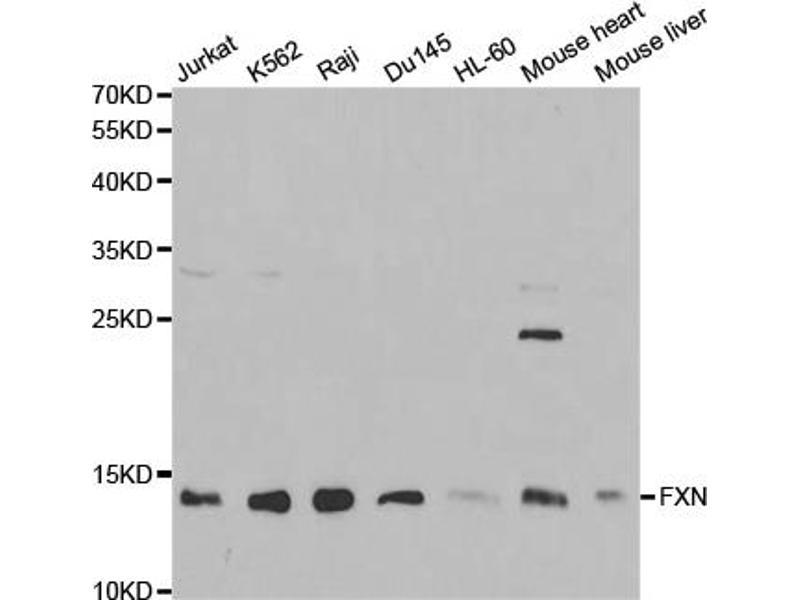 Image no. 1 for anti-Frataxin (FXN) antibody (ABIN6568875)
