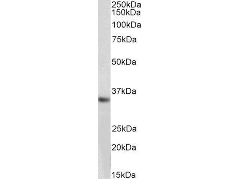 Western Blotting (WB) image for anti-Monoglyceride Lipase (MGLL) (Internal Region) antibody (ABIN2563907)