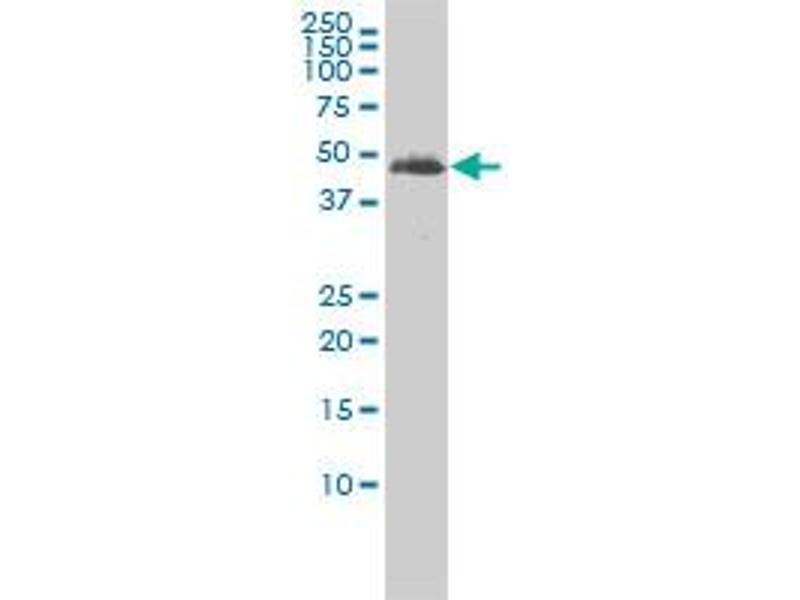 Western Blotting (WB) image for anti-Tubulin, Alpha, 3C (TUBA3C) (AA 1-418), (full length) antibody (ABIN563291)