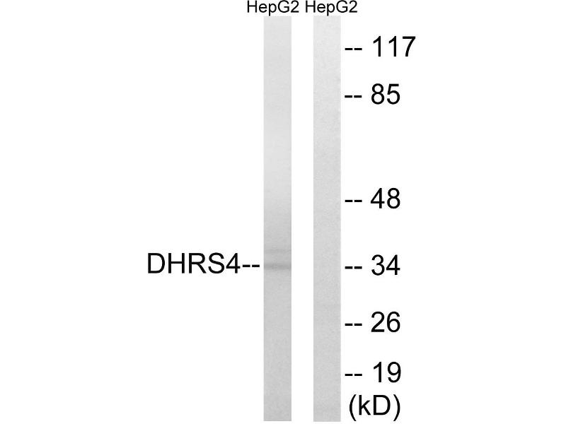 Image no. 2 for anti-Dehydrogenase/reductase (SDR Family) Member 4 (DHRS4) antibody (ABIN1576072)