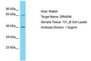 Image no. 1 for anti-Dorsal Inhibitory Axon Guidance Protein (DRAXIN) (AA 227-276) antibody (ABIN6750800)