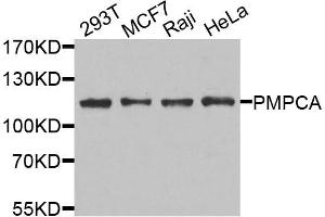 Image no. 1 for anti-Peptidase (Mitochondrial Processing) alpha (PMPCA) antibody (ABIN6572100)