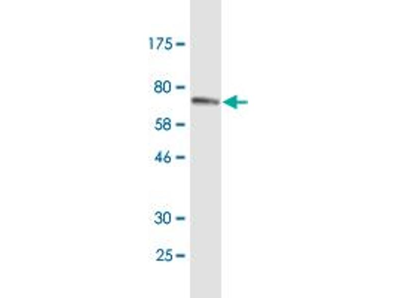 Image no. 4 for anti-Endoplasmic Reticulum Protein 44 (ERP44) (AA 30-406) antibody (ABIN949082)