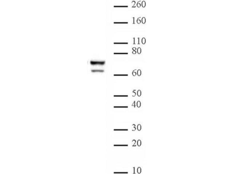Western Blotting (WB) image for anti-Lamin A/C antibody (LMNA) (AA 430-545) (ABIN2668844)