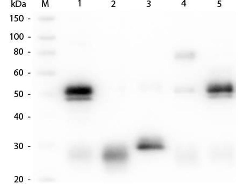 Western Blotting (WB) image for Goat anti-Rabbit IgG (Heavy & Light Chain) antibody (Atto 594) (ABIN964989)
