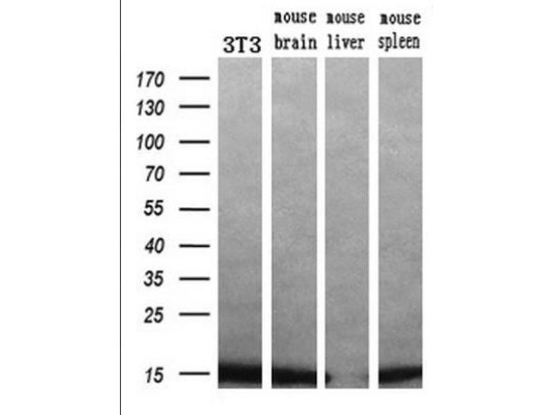 Western Blotting (WB) image for anti-Profilin 1 (PFN1) antibody (ABIN4347407)