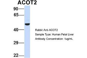 Image no. 2 for anti-Acyl-CoA Thioesterase 2 (ACOT2) (Middle Region) antibody (ABIN2775350)