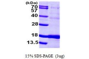 SDS-PAGE (SDS) image for Iron-Sulfur Cluster Scaffold Homolog (E. Coli) (ISCU) (AA 35-167) protein (His tag) (ABIN667303)