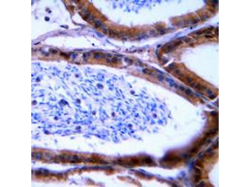 Image no. 1 for anti-Granzyme B/H (N-Term) antibody (ABIN2707535)