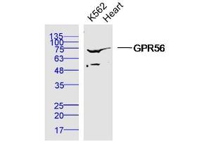 Image no. 1 for anti-G Protein-Coupled Receptor 56 (GPR56) antibody (ABIN1387527)