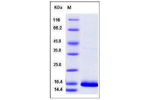 Image no. 1 for Fibroblast Growth Factor 14 (FGF14) (AA 64-252) (Active) protein (ABIN2005837)
