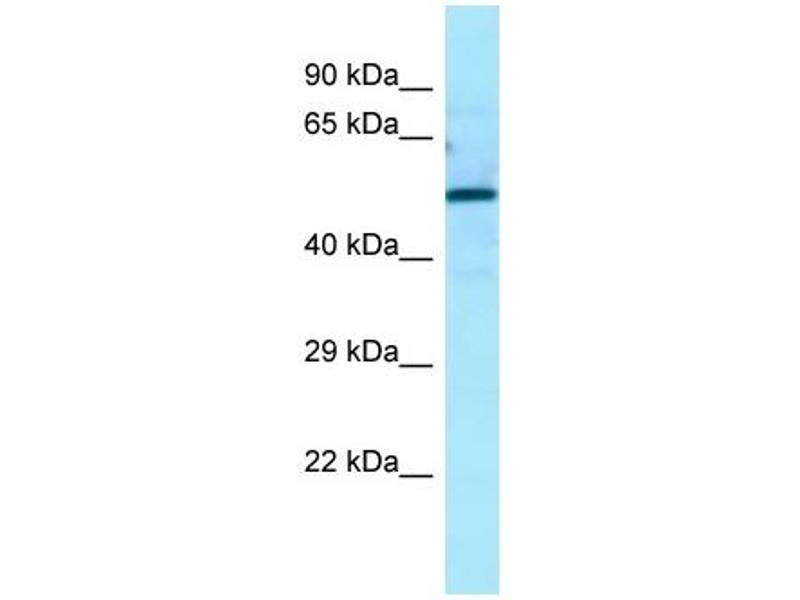 Western Blotting (WB) image for anti-Autophagy Related 13 (ATG13) (N-Term) antibody (ABIN2789823)