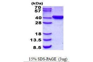 Image no. 1 for Chromosome 2 Open Reading Frame 60 (C2orf60) protein (ABIN2132401)